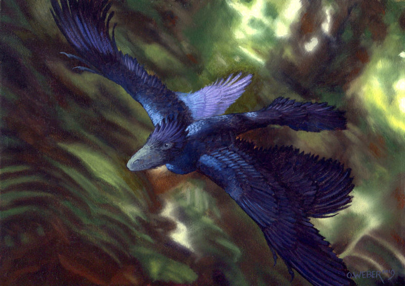 Microraptor by Owen William Weber