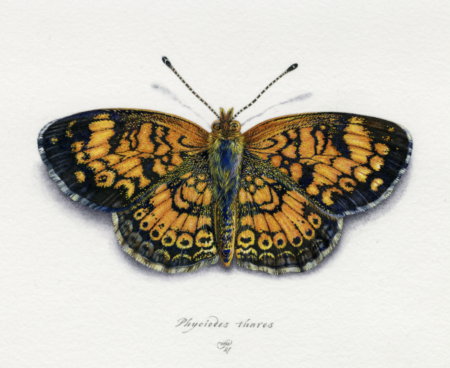 """""""Pearl Crescent Butterfly"""" by Natee Puttapipat"""
